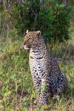Stående av en sammanträdeleopard mara masai Royaltyfria Bilder