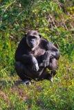Stående av en schimpans Arkivfoto