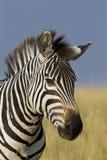 Stående av en sebra, Maasai Mara, Kenya Arkivfoton