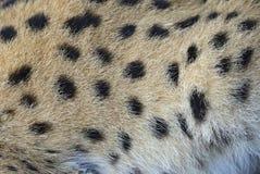 Stående av en serval Arkivbild