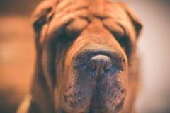 Stående av en Sharpei hund Royaltyfri Bild