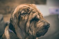 Stående av en Sharpei hund Arkivfoto