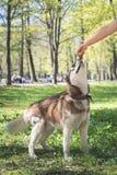 Stående av en siberian skrovlig hund i parkera som ser upp på handen med något som är läcker Hundutbildning i parkera fotografering för bildbyråer