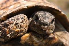 Stående av en sköldpadda Arkivfoto