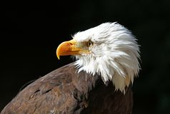 Stående av en skalliga Eagle mot en svart bakgrund fotografering för bildbyråer