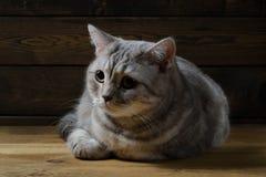 Stående av en skotsk katt Arkivfoton