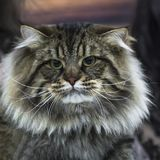 Stående av en smart fluffig siberian katt arkivbild