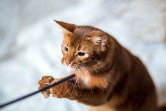Stående av en somalisk katt Arkivfoton