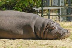 Stående av en sova flodhäst royaltyfria foton
