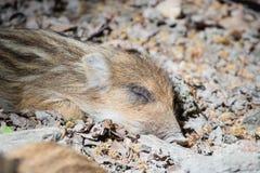 Stående av en sova spädgris Arkivfoton
