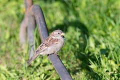 Stående av en sparrow Royaltyfria Foton