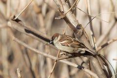 Stående av en sparrow Arkivfoto