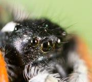 Stående av en spindel i natur supermakrosommar för 2009 blomma Royaltyfri Foto