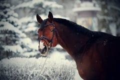 Stående av en sporthäst i vintern Arkivbild