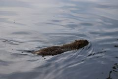 Stående av en stor coypu, också som är bekant som nutriaen som simmar i grunt vatten fotografering för bildbyråer