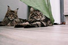 Stående av en stor fluffig Maine Coon katt arkivbilder