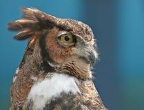 Stående av en stor Horned Owl Fotografering för Bildbyråer