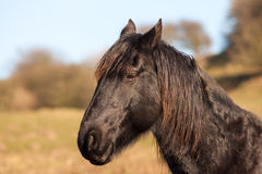 Stående av en svart häst Royaltyfri Fotografi