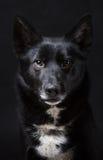 Stående av en svart hund Royaltyfri Fotografi