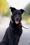 Stående av en svart hund. Arkivfoton