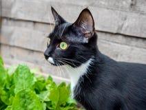 Stående av en svart katt med gröna ögon och en vit jabot royaltyfri bild