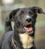 Stående av en svartvit inte rashund. Royaltyfri Fotografi