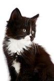 Stående av en svartvit kattunge Royaltyfria Bilder