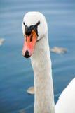 Stående av en swan Royaltyfria Foton