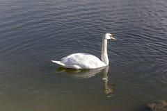 Stående av en swan arkivfoto