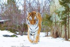 Stående av en tiger i snön fotografering för bildbyråer