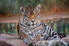 Stående av en tiger som ser rak arkivfoton