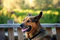 Stående av en tysk herdehund Arkivbild