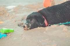 Stående av en ung katt som ser till cameraBlacklabradoren som gräver i sanden Förfölja på stranden arkivbild
