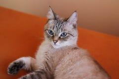 Stående av en ung ljus beige katt som hemma vilar Det fluffiga husdjuret arkivfoton