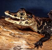 Stående av en ung svart kajman, Melanosuchus Niger royaltyfri fotografi