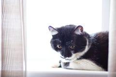 Stående av en ung svartvit katt Arkivbilder