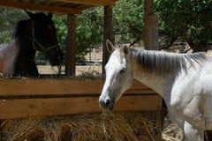 Stående av en vit häst Arkivfoton