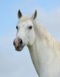 Stående av en vit häst Arkivbild