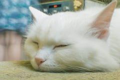 Stående av en vit katt arkivbild