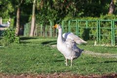 Stående av en vit lös gås i en parkera som fördelar dess vingar Royaltyfria Foton