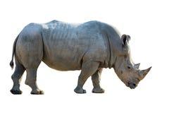 Stående av en vit noshörning Arkivbild