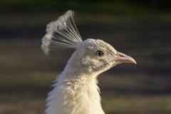 Stående av en vit påfågel som fångar solen på dess fjädrar arkivfoto