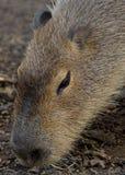 Stående av en vuxen Capybara Fotografering för Bildbyråer