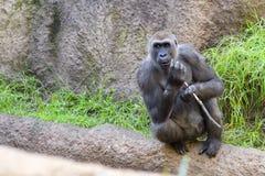 Stående av en vuxen svart apa arkivfoton
