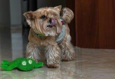 Stående av en yorkshire terrier med en favorit- leksak och tunga som ut hänger, closeup arkivbilder