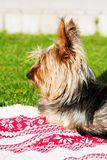Stående av en yorkshire terrier som ligger på en filt på grönt gräs royaltyfria bilder