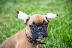 Stående av engammal bulldoggvalp med en ifrågasätta blick fotografering för bildbyråer