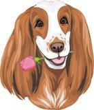 Stående av engelska Cocker Spaniel som ger en ros stock illustrationer