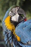Stående av enguling papegojaAra Ara ararauna fotografering för bildbyråer