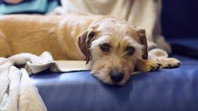 Stående av ett brunt terrierhundsammanträde på en soffa hemma royaltyfria foton
